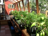 Redwood greenhouse with tomatoes