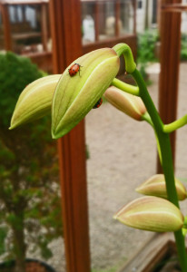 lady bug and orchid bud